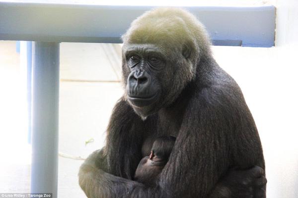 Chùm ảnh khỉ mẹ ôm ấp, bảo vệ khỉ con gây xúc động mạnh