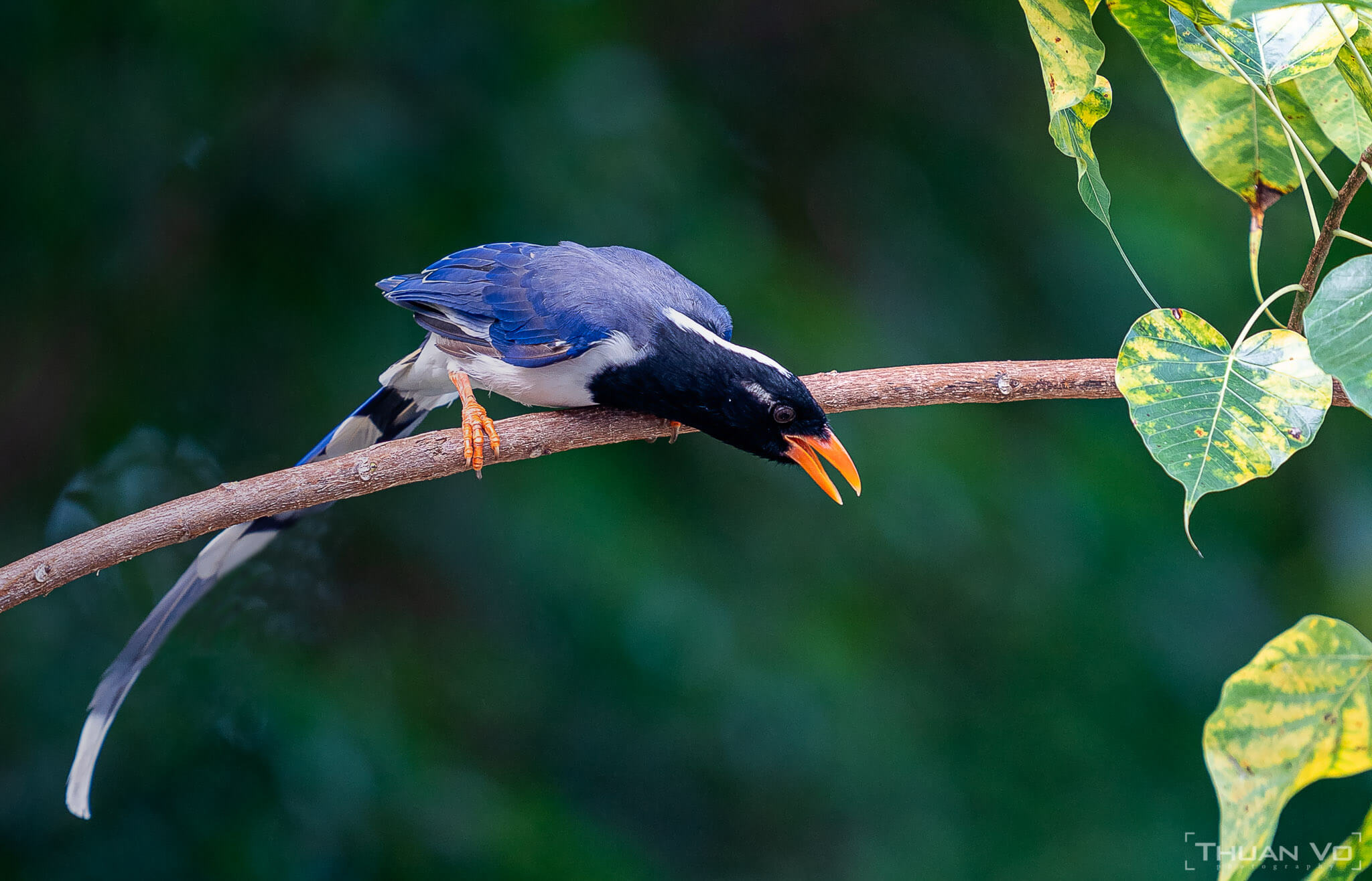 Những loài chim quý Việt Nam – Nhiếp Ảnh Gia  Thuần Võ