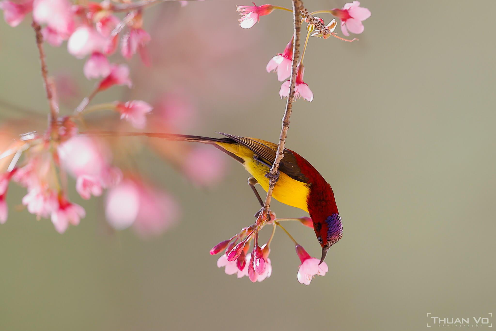 Những loại chim quý Việt Nam - NAG Thuần Võ